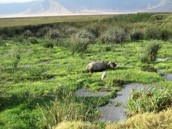 Buffalo in the Ngorongoro Crater National Park