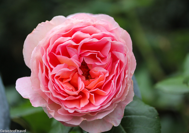 What is perfect? The perfect rose