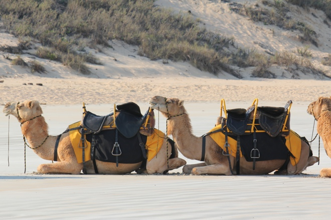 Camels waiting on Cable Beach