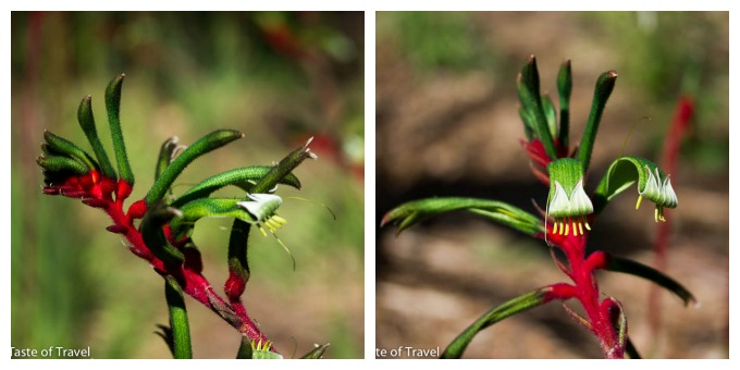The Red and Green Kangaroo Paw