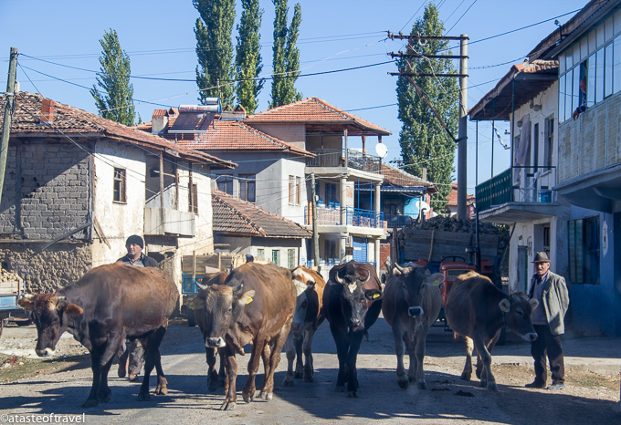 Driving in Turkey- cows on the road